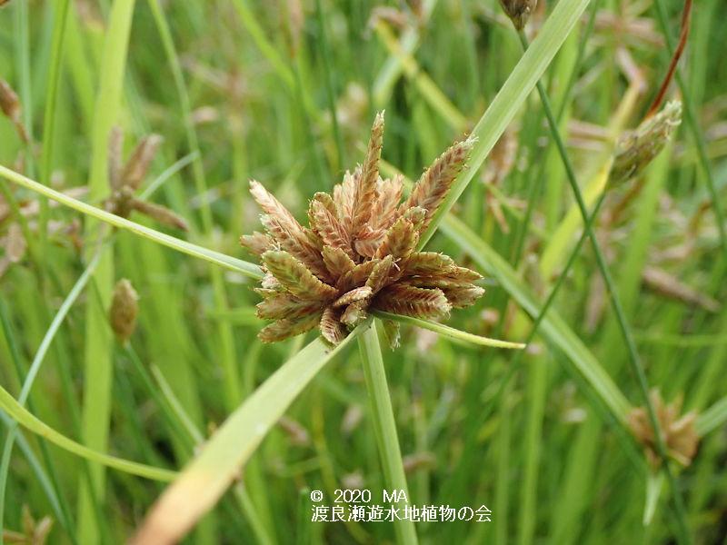 渡良瀬遊水地に生育しているカワラスガナの画像