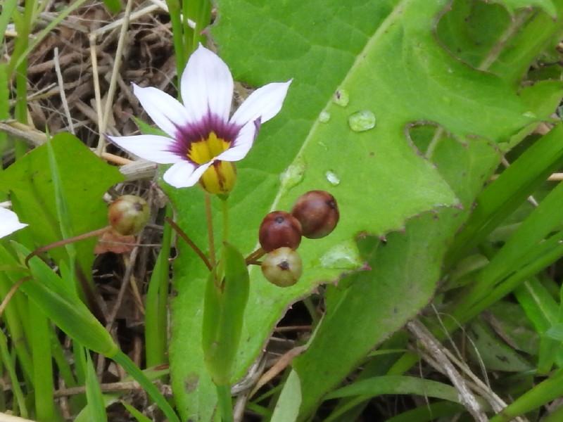 渡良瀬遊水地に生育しているニワゼキショウ(花)の画像