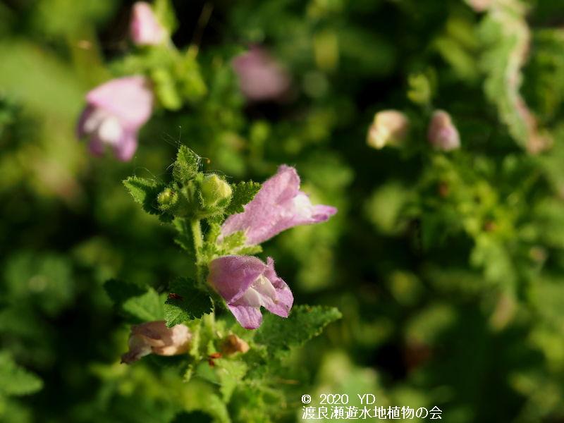 渡良瀬遊水地に生育するコシオガマの画像その2