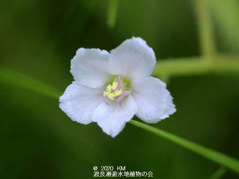 渡良瀬遊水地に生育しているシロバナナガバノイシモチソウの花の画像その3