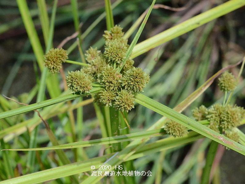 渡良瀬遊水地に生育しているタマガヤツリの画像