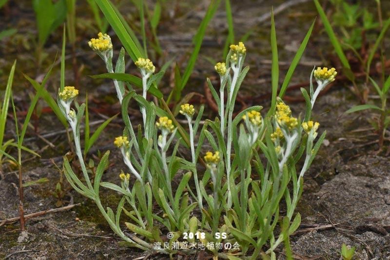 渡良瀬遊水地に生育するハハコグサの全体画像と説明文書