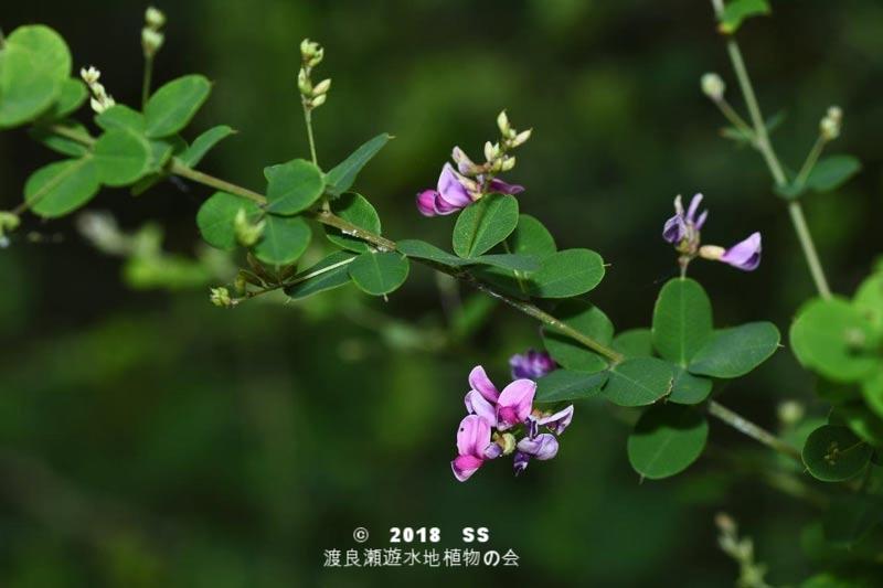 渡良瀬遊水地に生育しているヤマハギの全体画像と説明文書