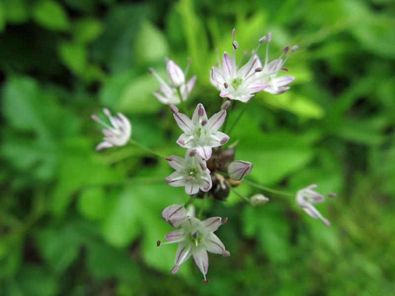 渡良瀬遊水地に生育しているノビル(花)の画像