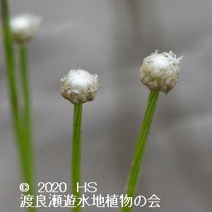 渡良瀬遊水地に生育しているホシクサの画像その2