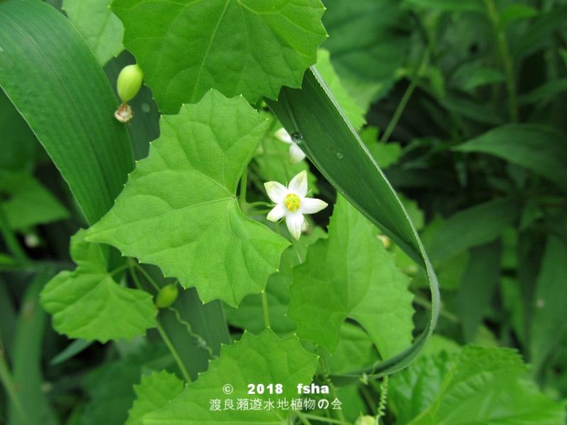 渡良瀬遊水地に生育しているスズメウリの全体画像と説明文書(開花)