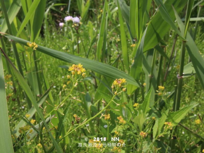 渡良瀬遊水地に生育しているスカシタゴボウの全体画像と説明文書