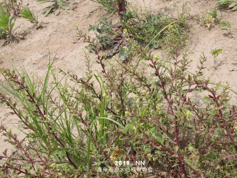 渡良瀬遊水地に生育するコイヌガラシの全体画像と説明文書