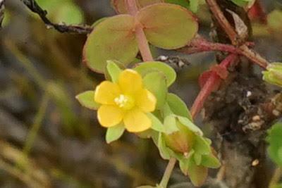 渡良瀬遊水地に生育するコケオトギリ(花)の画像
