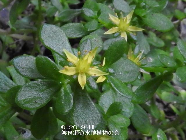 渡良瀬遊水地に咲くコモチマンネングサの画像その4