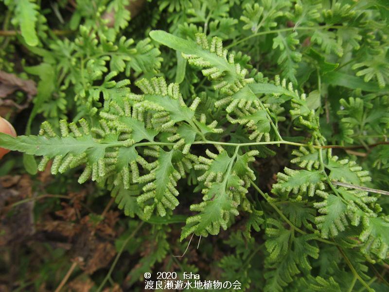 渡良瀬遊水地に生育しているカニクサの画像その3