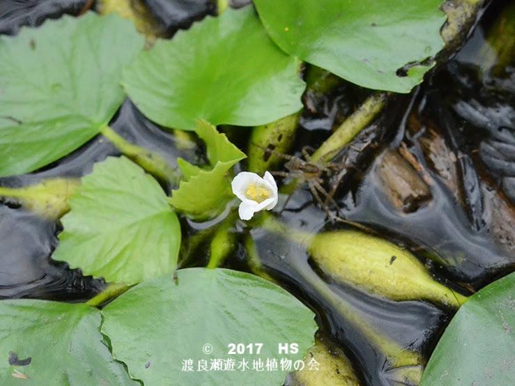 渡良瀬遊水地に生育するコオニビシの全体画像と説明文書