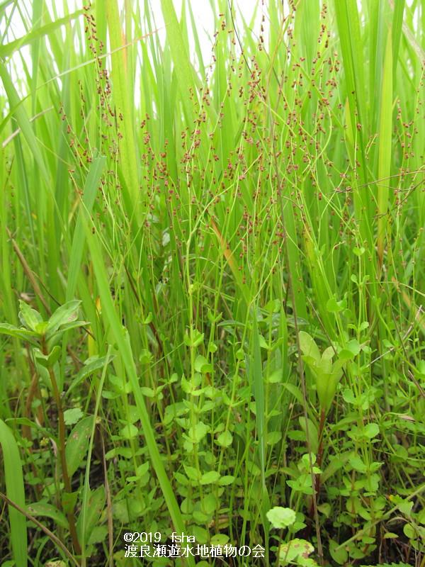 渡良瀬遊水地に咲くアリノトウグサの画像