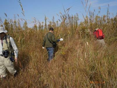 画像:渡良瀬遊水地植物の会 外来種除去活動の様子