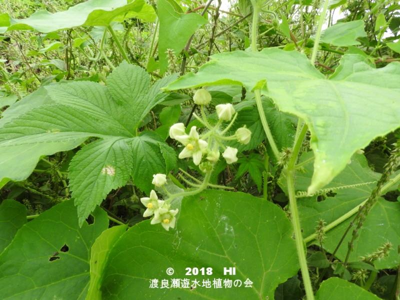 渡良瀬遊水地に生育しているアレチウリの全体画像と説明文書(開花)