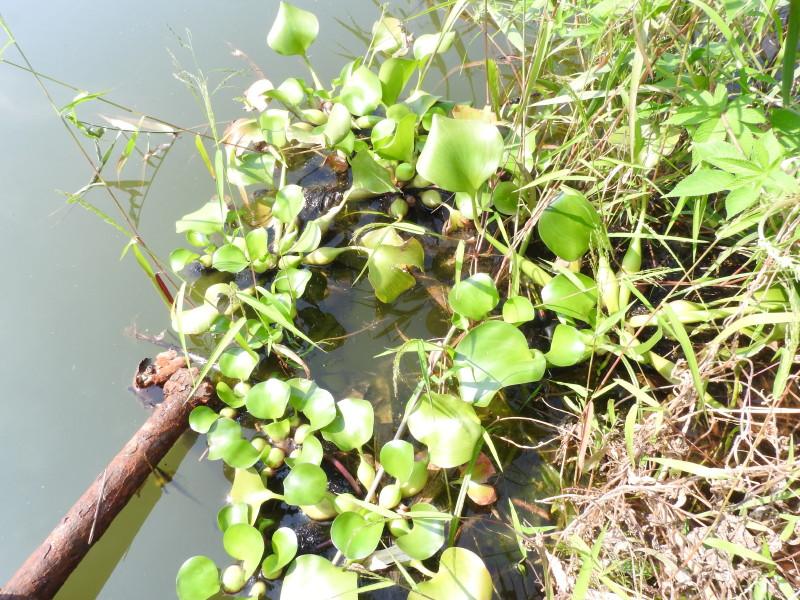 渡良瀬遊水地に生育しているホテイアオイの全体画像と説明文書