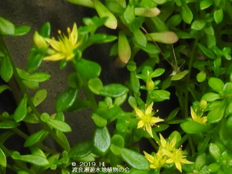 渡良瀬遊水地に咲くコモチマンネングサの画像その3