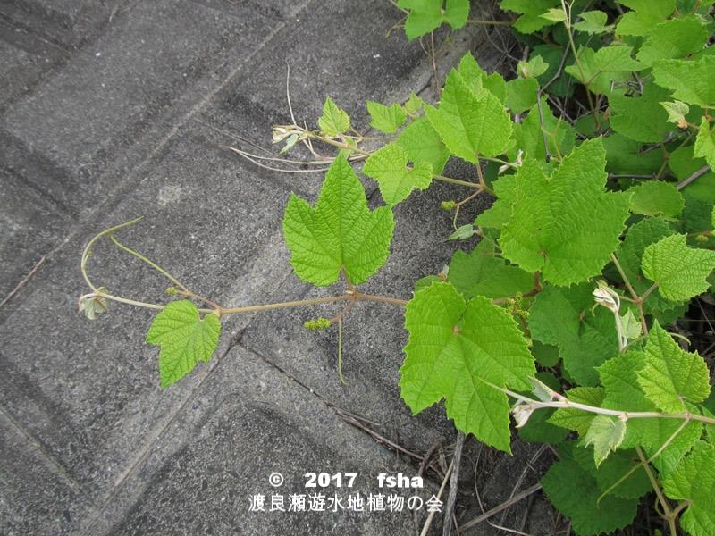 渡良瀬遊水地に生育するエビヅルの全体画像と説明文書