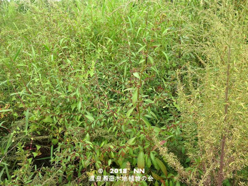 渡良瀬遊水地に生育しているチョウジタデの全体画像と説明文書