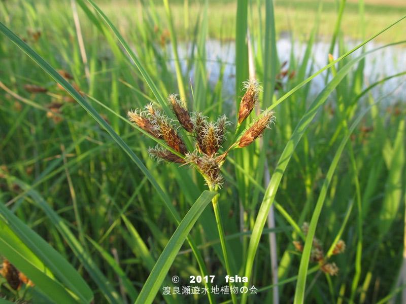 渡良瀬遊水地に生育するウキヤガラの全体画像と説明文書