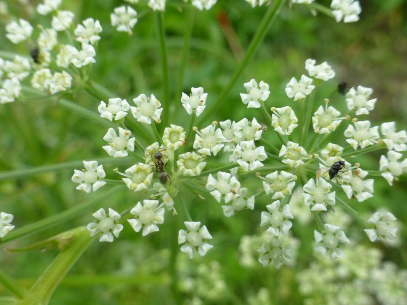 渡良瀬遊水地に生育しているシムラニンジン(花)の画像