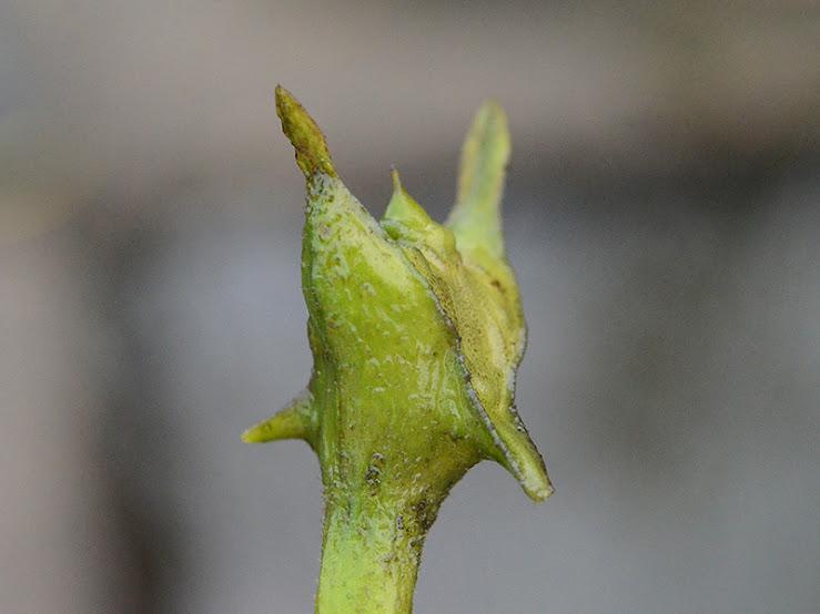 渡良瀬遊水地に生育するコオニビシの果実の画像
