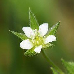 渡良瀬遊水地に生育しているノミノツヅリ(花)の画像
