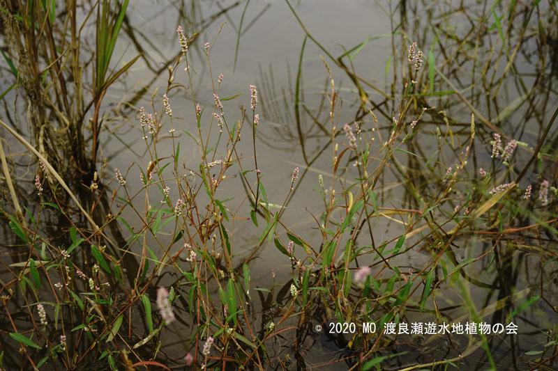 渡良瀬遊水地に生育しているホソバイヌタデの画像その3