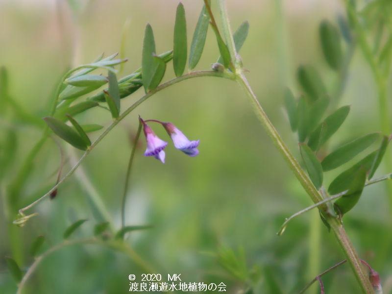 渡良瀬遊水地に生育するカスマグサの画像その2