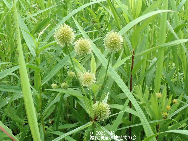 渡良瀬遊水地に生育するミクリガヤツリの画像