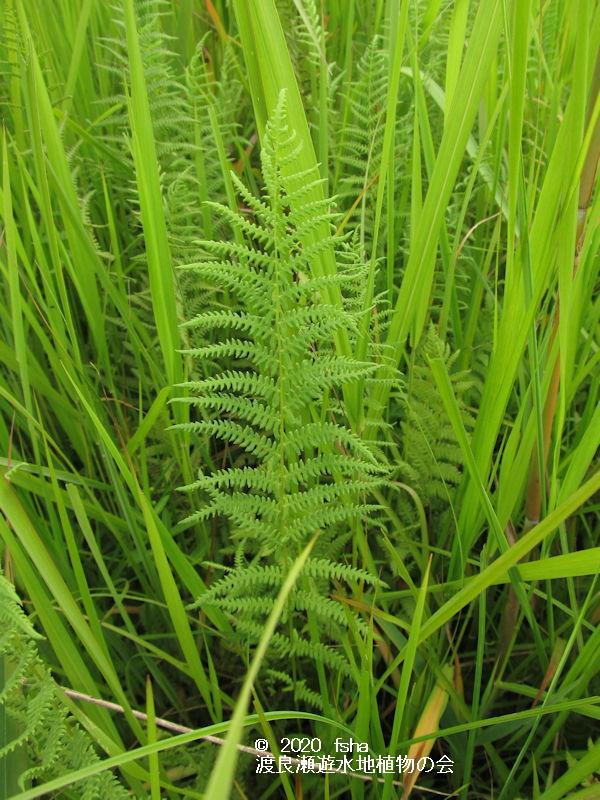 渡良瀬遊水地に生育するヒメシダの画像その1