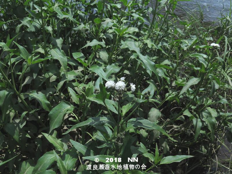 渡良瀬遊水地のミズヒマワリの全体画像と説明文書