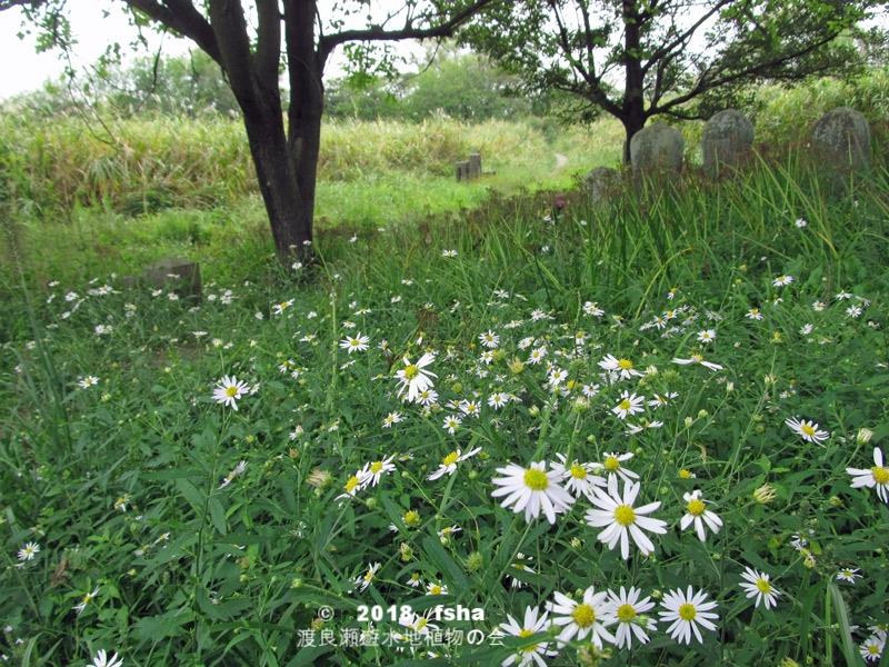 渡良瀬遊水地に生育しているユウガギクの全体画像と説明文書