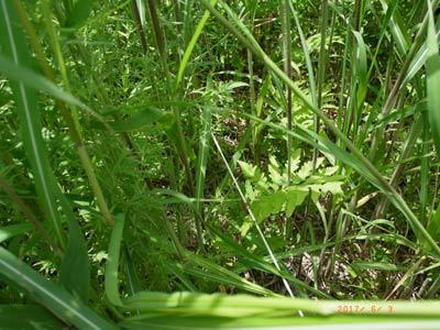 渡良瀬遊水地植物の会 調査したコドラート