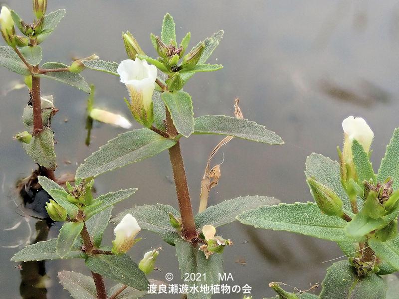 渡良瀬遊水地に咲くシソクサの花
