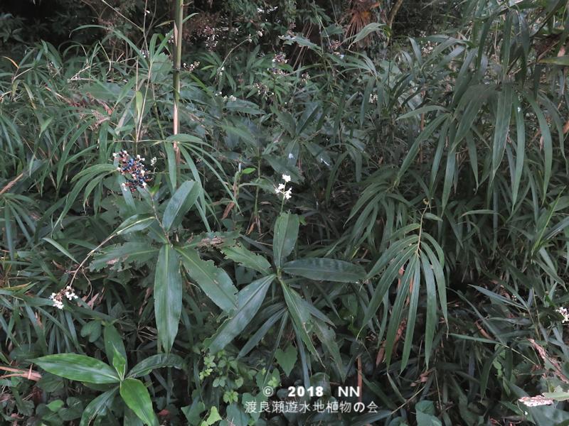 渡良瀬遊水地のヤブミョウガの全体画像と説明文書