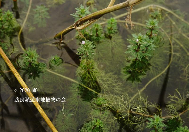 渡良瀬遊水地に生育しているコキクモの画像その3