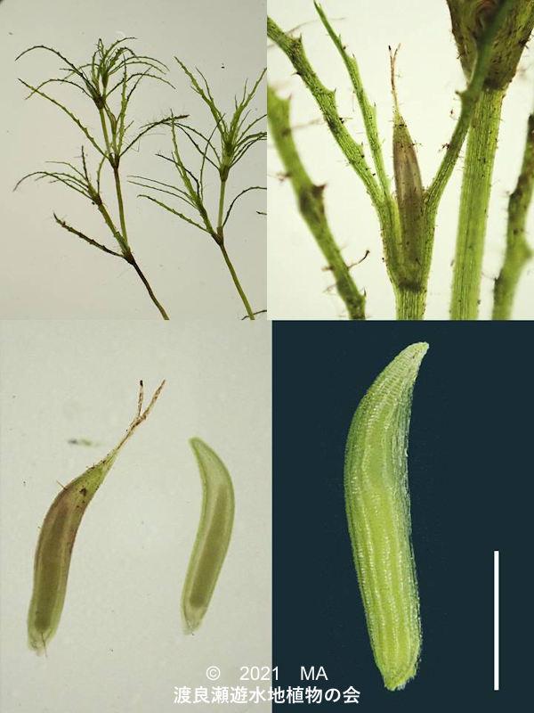 渡良瀬遊水地に生育するトリゲモの各種画像