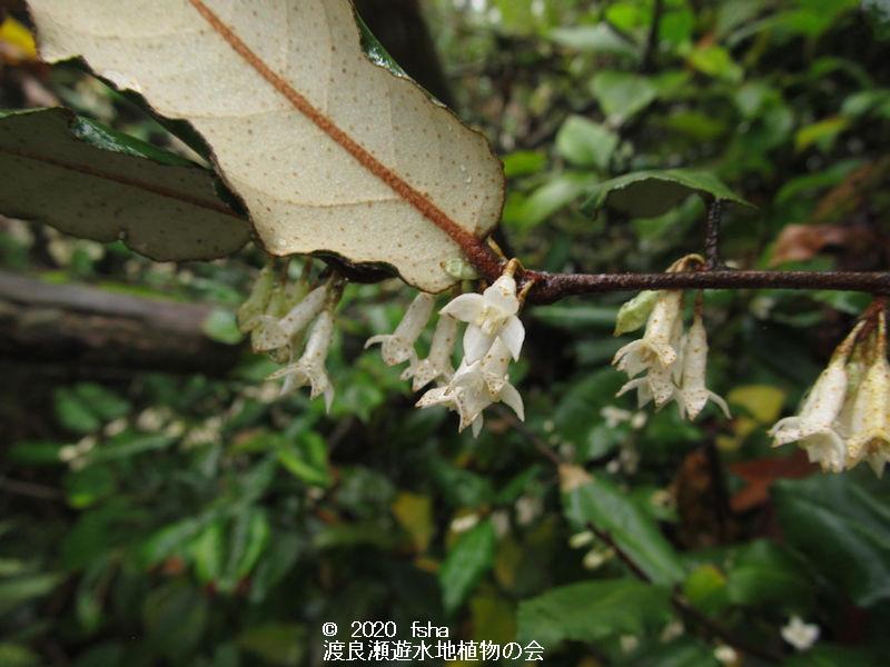 渡良瀬遊水地に生育しているナワシログミの画像その2