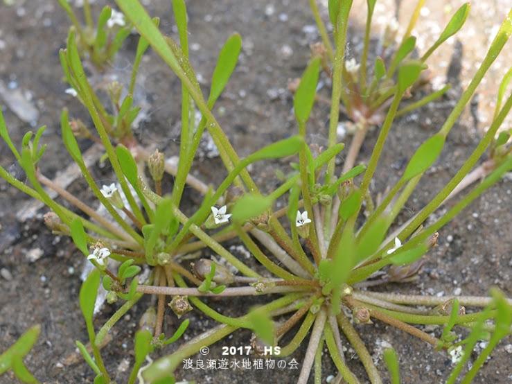 渡良瀬遊水地に生育するキタミソウの全体画像と説明文書