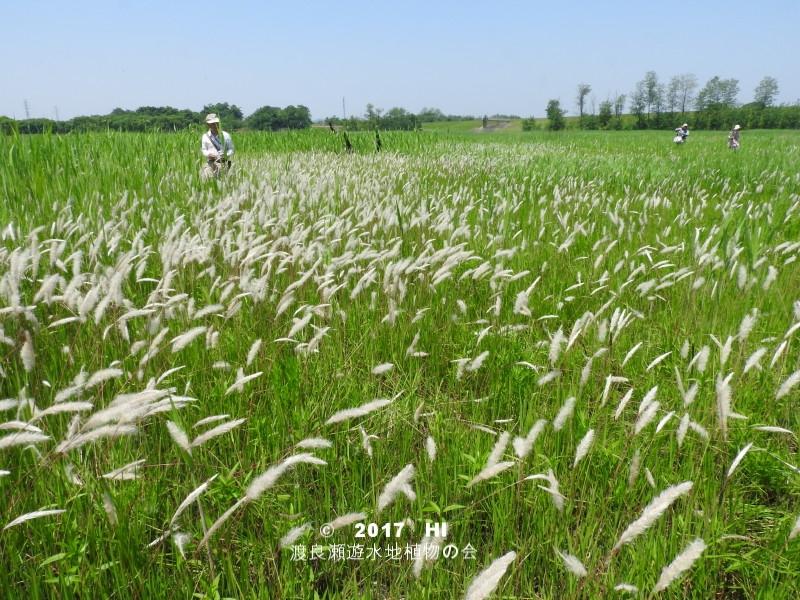 渡良瀬遊水地に生育するケナシチガヤの画像