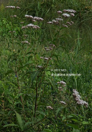 渡良瀬遊水地に生育しているフジバカマの全体画像と説明文書