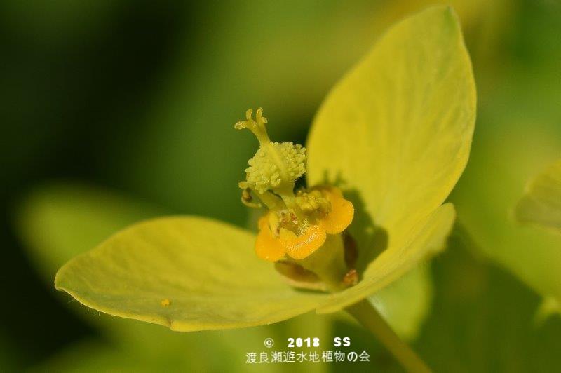 渡良瀬遊水地に生育しているノウルシの花の画像と説明文書