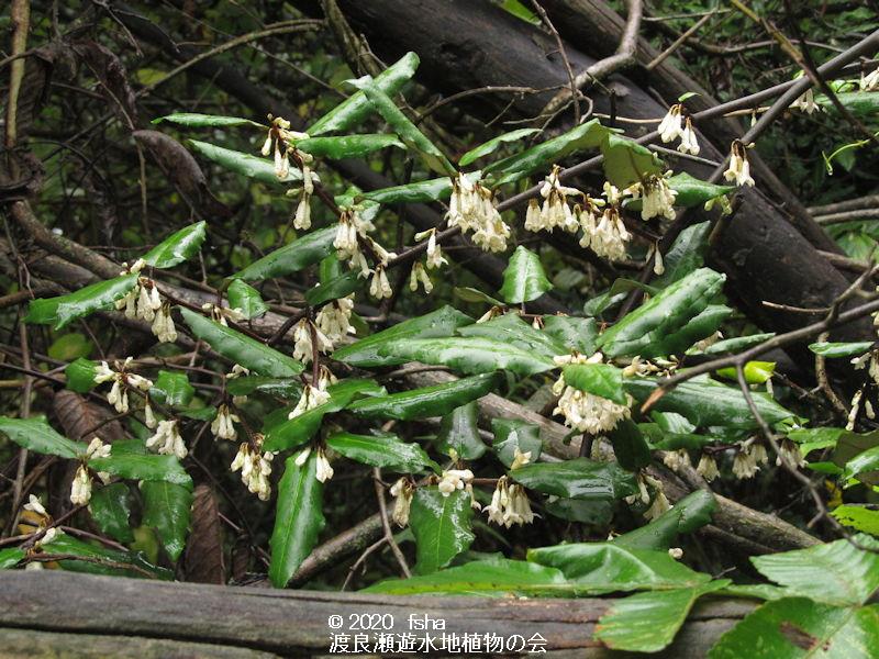渡良瀬遊水地に生育しているナワシログミの画像その1