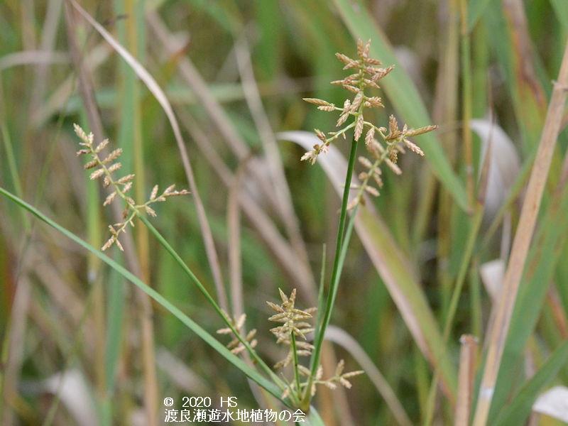 渡良瀬遊水地に生育しているミズガヤツリの画像