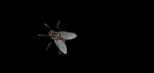 Die andere Fliege! (diese Fliege klicken um zur anderen Fliege zurück zu kommen)