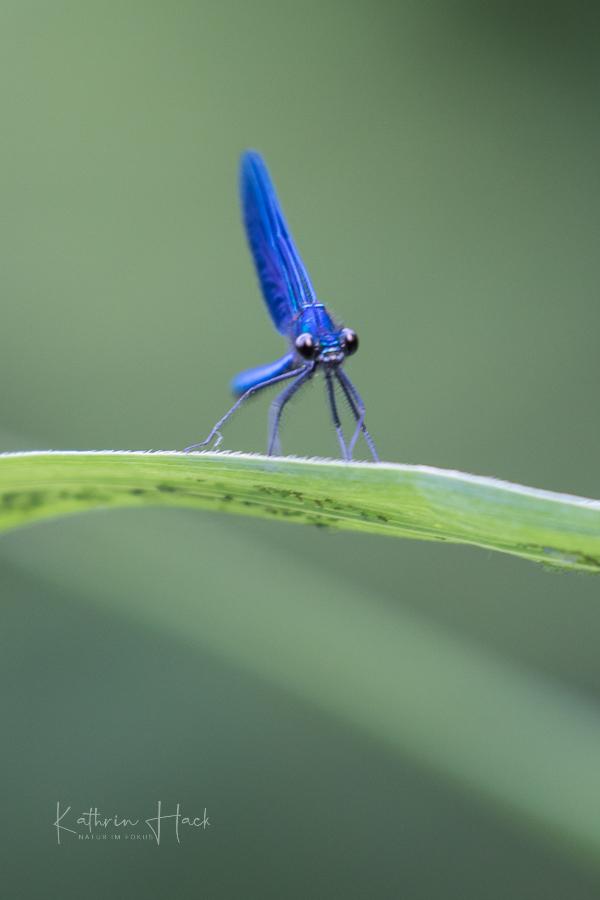 Blauflüglige Prachtlibelle