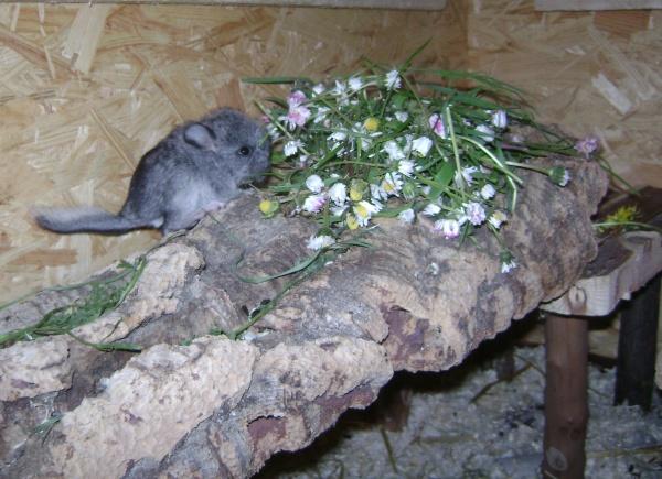 Chinchillas sind Nestflüchtler