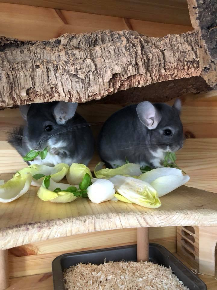 Chinchillas im Chicoreemeer