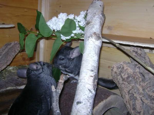 Chinchillas fressen Flieder